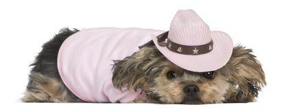 Chien terrier de Yorkshire, 2 années, rectifiées Photographie stock