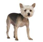 Chien terrier de Yorkshire, 2 années, restant Images stock