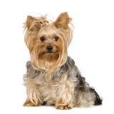 Chien terrier de Yorkshire (2 ans) Images libres de droits