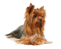 Chien terrier de Yorkshire Images stock