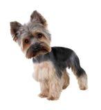 Chien terrier de Yorkshire Photos stock