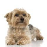 Chien terrier de Yorkshire Photos libres de droits