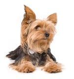 Chien terrier de Yorkshire Images stock