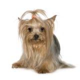 Chien terrier de Yorkshire (3 ans) Photo stock