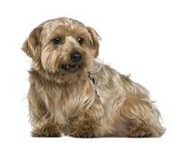 Chien terrier de Yorkshire, 4 années Image stock