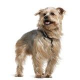 Chien terrier de Yorkshire, 4 années, restant Images stock