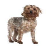 Chien terrier de Yorkshire, 4 années, restant Photo libre de droits