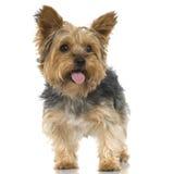Chien terrier de Yorkshire (4 ans) Image libre de droits