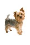 Chien terrier de Yorkshire Photographie stock libre de droits
