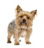 Chien terrier de Yorkshire (5 ans) Images libres de droits