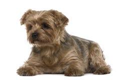 Chien terrier de Yorkshire, 6 années, se trouvant Images libres de droits