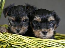 Chien terrier de Yorkshire Image libre de droits