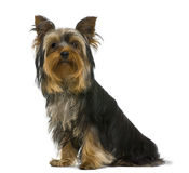 Chien terrier de Yorkshire, 7 mois, Images stock