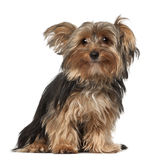 Chien terrier de Yorkshire, 8 mois Photo stock