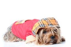 Chien terrier de Yorkshire avec des vêtements images libres de droits
