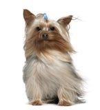 Chien terrier de Yorkshire avec le cheveu dans le vent Photos stock