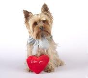 Chien terrier de Yorkshire avec le coeur, je t'aime Photos libres de droits