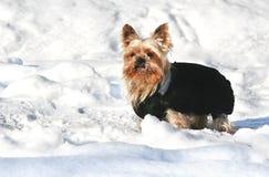 Chien terrier de Yorkshire dans la neige Photo stock