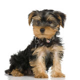 Chien terrier de Yorkshire de chiot Photo libre de droits