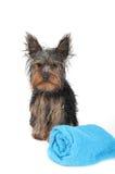 Chien terrier de Yorkshire humide Photo libre de droits