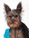Chien terrier de Yorkshire humide Images stock