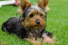 Chien terrier de Yorkshire I. Photo libre de droits