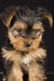 Chien terrier de Yorkshire mignon Images libres de droits