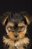 Chien terrier de Yorkshire mignon Photo libre de droits