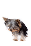 Chien terrier de Yorkshire regardant vers le bas Images libres de droits