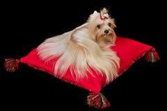 Chien terrier de Yorkshire se trouvant sur le coussin rouge image libre de droits