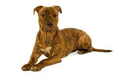 chien terrier du Staffordshire de crabot Image libre de droits