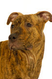 chien terrier du Staffordshire de crabot Photos stock