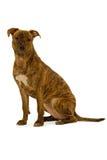 chien terrier du Staffordshire de crabot Photo libre de droits