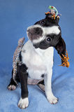 Chien terrier et amis de Boston Photographie stock