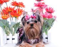 Chien terrier et fleurs de Yorkshire Images stock