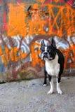 Chien terrier et graffiti orange 3 de Boston photographie stock libre de droits