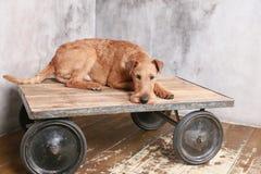 Chien terrier irlandais Photographie stock libre de droits