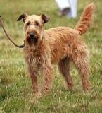 Chien terrier irlandais Images libres de droits