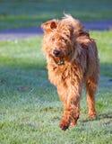 Chien terrier irlandais Images stock