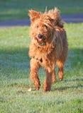 Chien terrier irlandais Photos stock