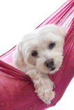 Chien terrier maltais mignon Image stock
