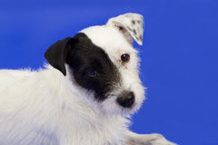 Chien terrier mignon Photos stock
