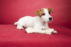 chien terrier mignon de russell de plot d'os Photographie stock