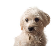 chien terrier mignon de verticale de crabot Photo stock