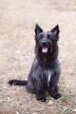 Chien terrier noir photographie stock libre de droits