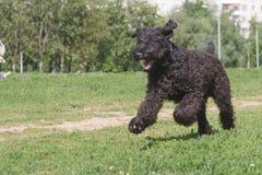 Chien terrier noir courant Photographie stock