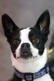 Chien terrier noir et blanc Headshot Photos libres de droits