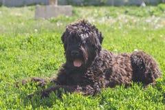Chien terrier noir menteur Image libre de droits
