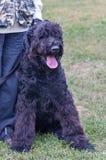 Chien terrier russe noir Images stock