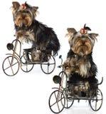 chien terrier se reposant Yorkshire Image libre de droits